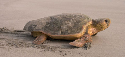 Loggerhead turtle returning to the sea after nesting