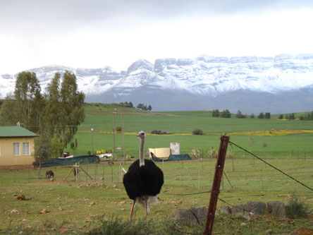 Ostrich - Ceres mountains with snow
