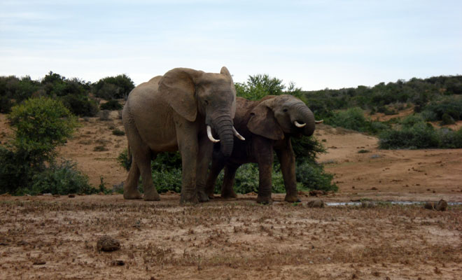 Elephant in the Addo Park